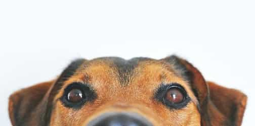 Can Dogs Detect Coronavirus? This Study Says Yes With 94% Accuracy