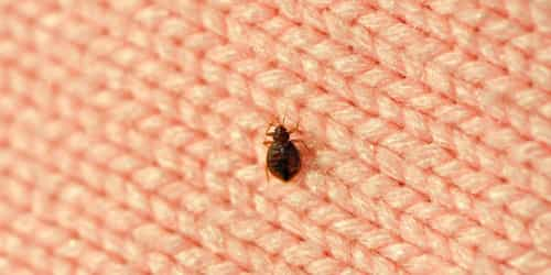 Stubborn Bed Bugs? Get Rid Of Them Fast With These Steps