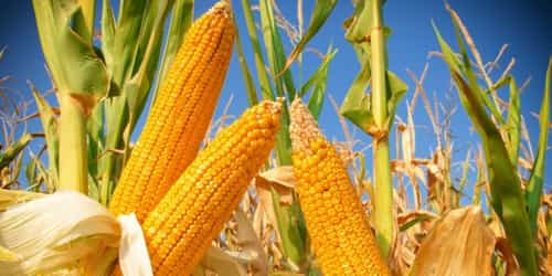 Corn: Here Are 5 Wonderful Health Benefits of Eating This Plant