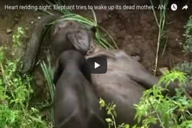 Heartbreaking! This video of a baby elephant trying to revive dead mother would make you cry!