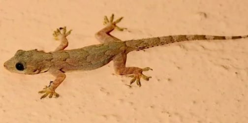 Want to rid your home of lizards? Here are some easy tips from a new mom!