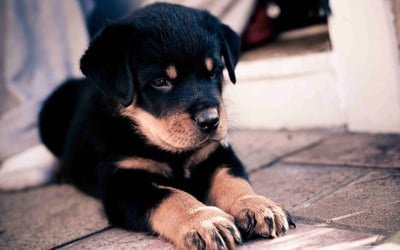 The Rottweiler: A Safe Bet for Family Pet?