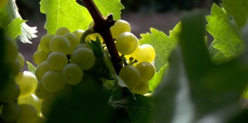 Grapes are lethal: toddler dies after a grape lodged into his windpipe