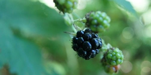 Toddler choked to death on a blackberry picked for him by his dad on family walk
