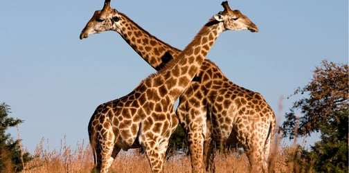 Giraffes are now facing extinction, and we're to blame