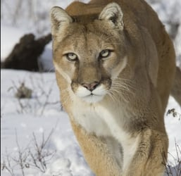 Father Saves Son from Mountain Lion
