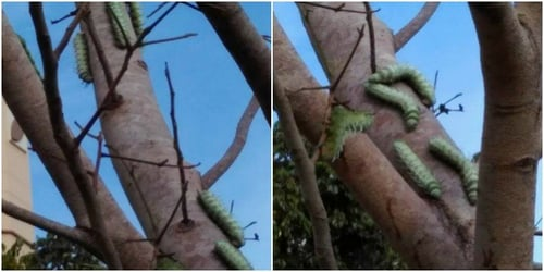 Yikes! 'Monster' caterpillars in Singapore and what you SHOULD know!