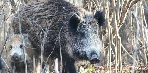 Wild Boars Wreak Havoc In Singapore: Why You Must Educate Your Kids About It