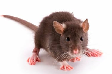How are rats killing people in Mumbai