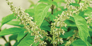 Scent Leave Fit Cause Miscarriage