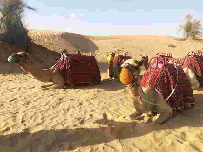 Dubai holiday with kids: Camels