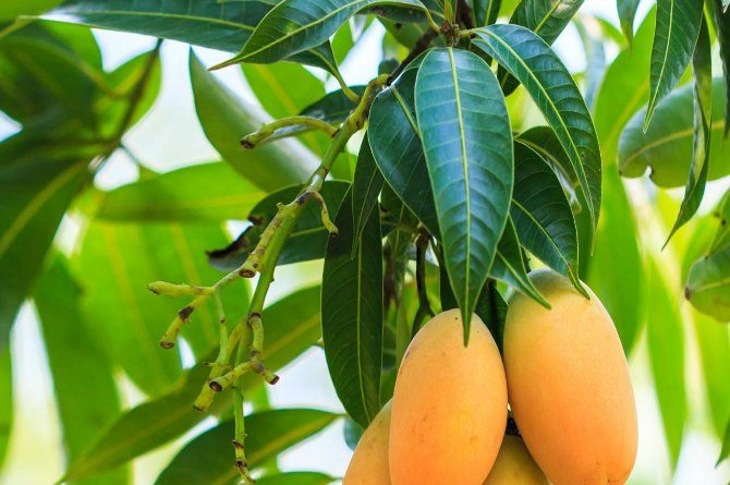src=http://hindi admin.theindusparent.com/wp content/uploads/sites/10/2015/12/10 Amazing Benefits And Uses Of Mango Leaves1.jpg diabetes control करने के असरदार home remedies!