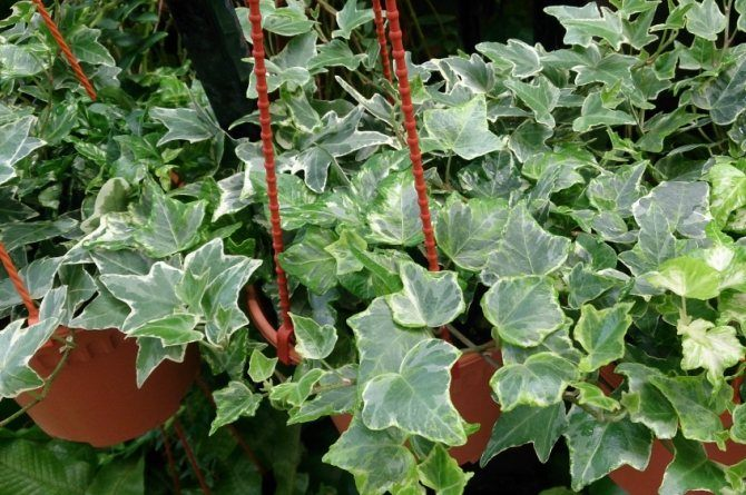 english ivy Beautify your home with these houseplants that can also boost your family's health!