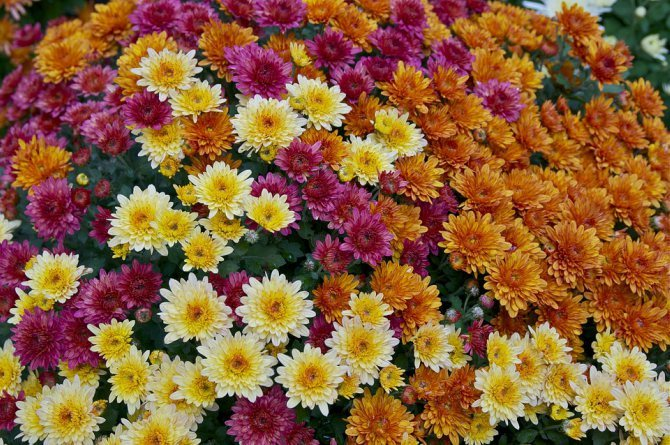 garden mums Beautify your home with these houseplants that can also boost your family's health!