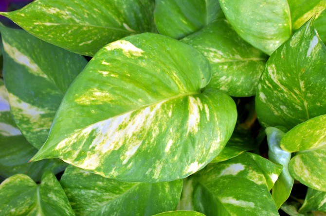 golden pothos Beautify your home with these houseplants that can also boost your family's health!