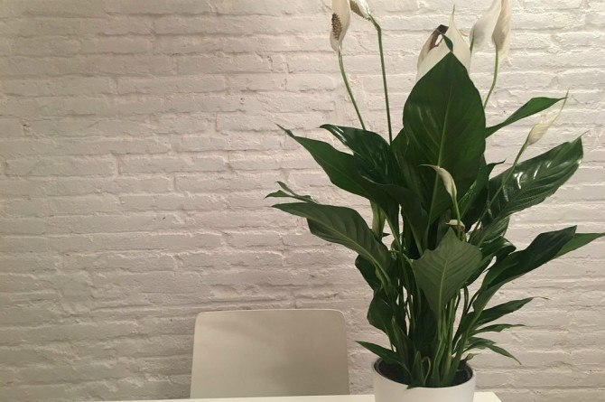 peace lilies Beautify your home with these houseplants that can also boost your family's health!