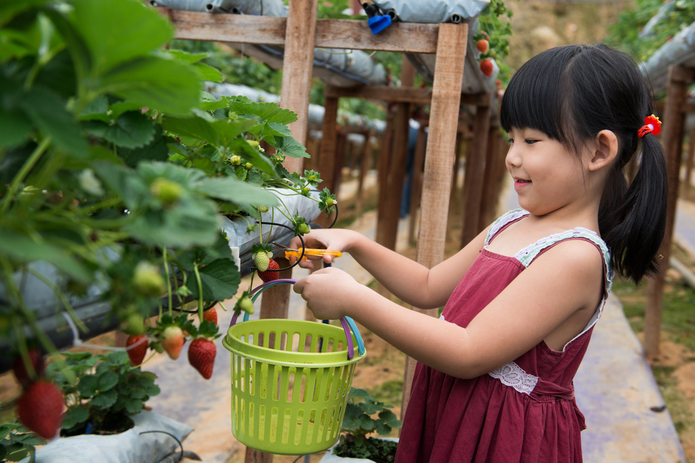 Strawberry Picking in Baguio