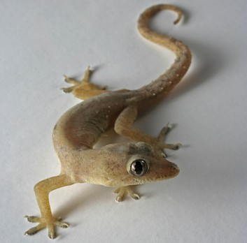 household-lizards-pests