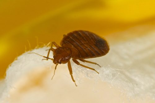 Bed bugs - how to get rid of them