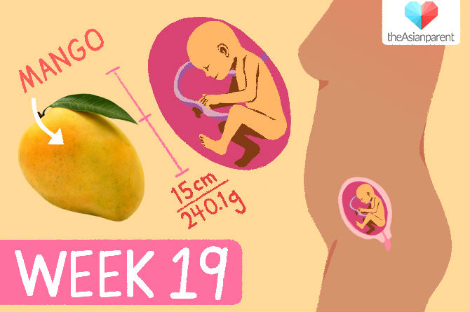 week by week pregnancy: week 19