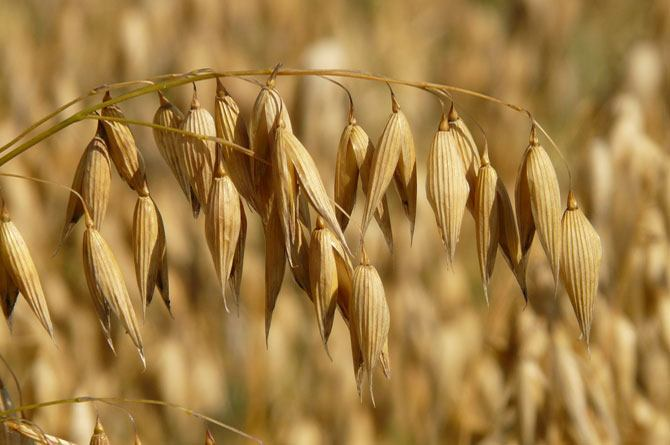 An oat sprig