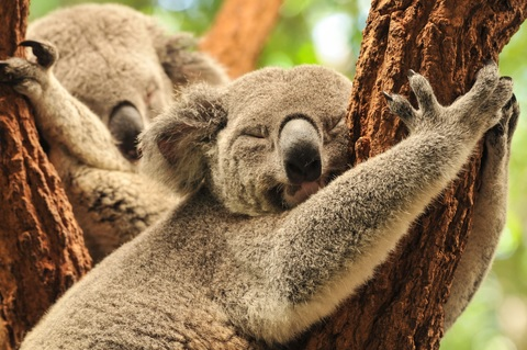 4. G'day Mate! Say hello to the koalas at Singapore Zoo