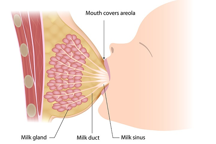 how-breast-milk-is-produced