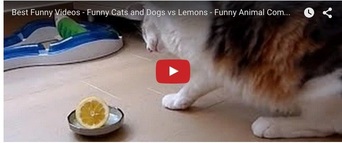 Cats and dogs vs lemons: Funny animal video