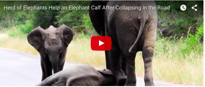 An elephant calf collapsed on the road. What happens next will melt your heart