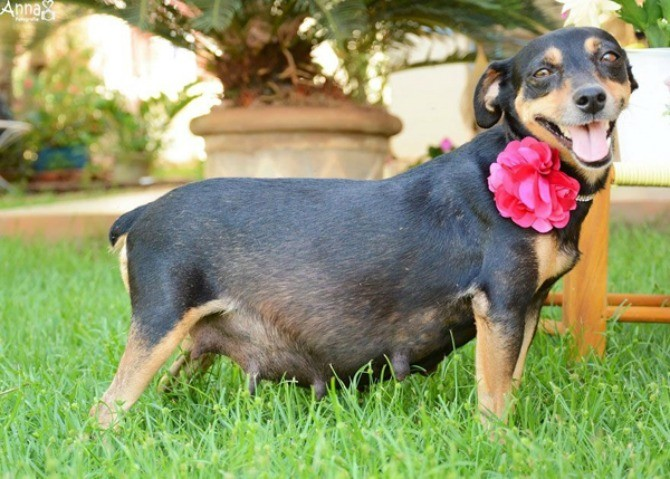 Pregnant dog stars in doggy maternity shoot