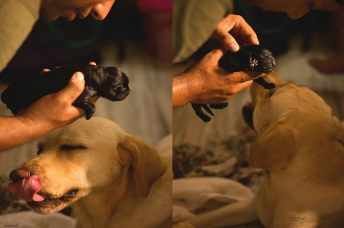 Cuteness overload! Maternity shoot of this Labrador will melt your heart